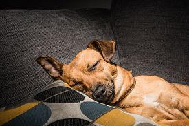 Young Brown Dog Sleeping On A Sofa - Cute Pet Photography - Rescue Dog Relaxed In The House