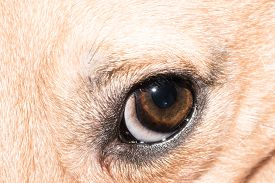 Dog Eye Close-up - Pet Eye Isolated
