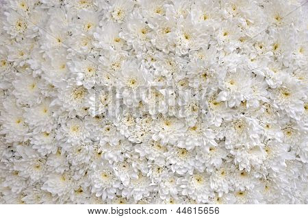 Close Up Of White Blossomed Chrysanthemums Bedding