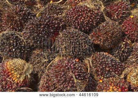 Palm Oil seeds for biodiesel production