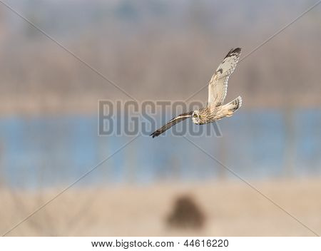 Short-eared owl in flight over a meadow during winter poster