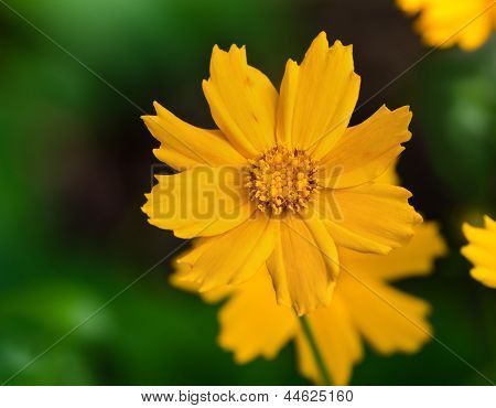 Tickseed flower (coreopsis auriculata Nana)