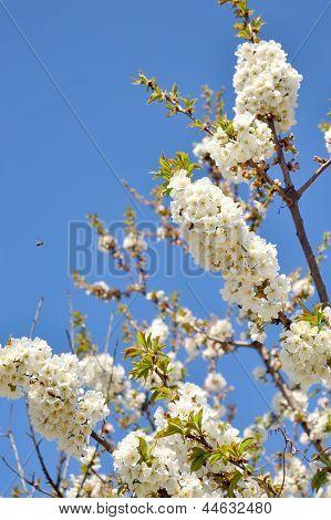Sweet Cherry Blooming