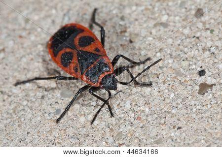 Red soldier bug (Pyrrhocoris apterus)