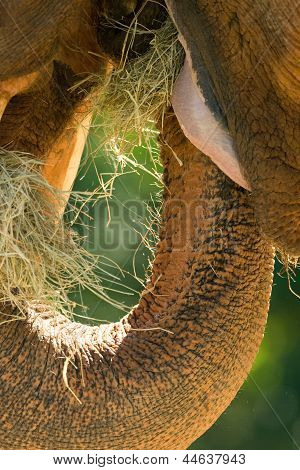 African Elephant's Mouth