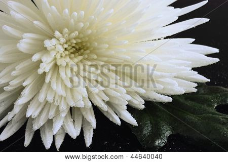 Water Drops On A Chrysanthemum