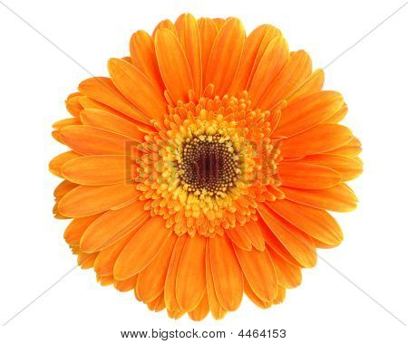 Orange Gerbera Isolated