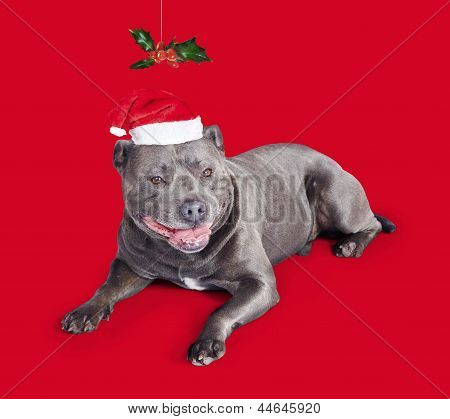 Celebrating Christmas With A Blue Staffie Dog