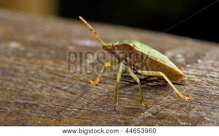 Pentatomidae Palomena Prasina On A Wood