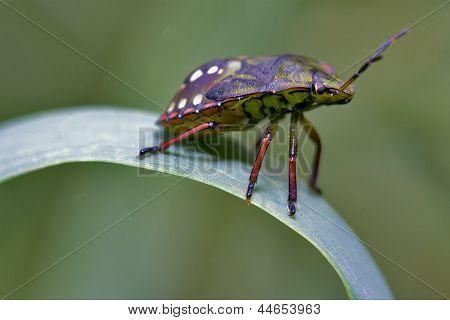 Side Of Wild Fly Hemiptera  On A Green Leaf