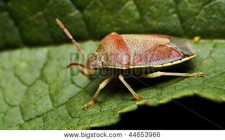 Side Of Wild Fly Hemiptera