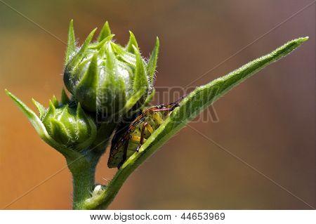 Hemiptera Inside A Flower