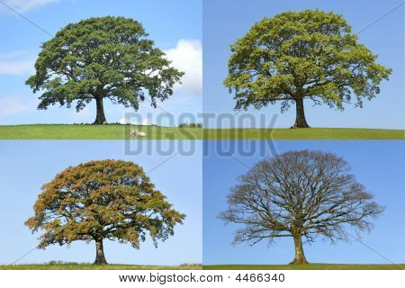 Oak tree in four seasons of spring summer fall and winter in rural countryside all set against a blue sky. poster