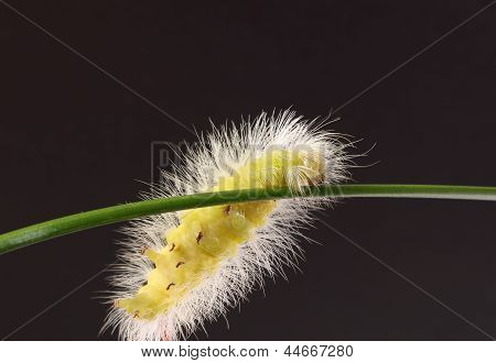 Fluffy Caterpillar