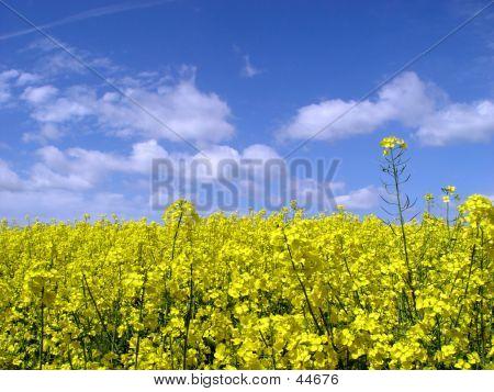 Golden Canola Field