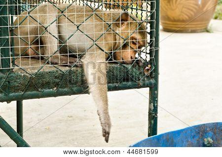 Sad Monkey Caged