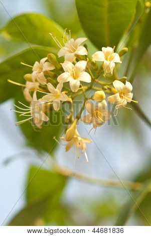Yellow Tembusu Flowers