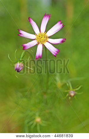 Beautiful Pink Cosmos  Flowers