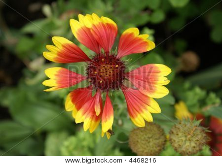 Flower Called Gaillardia With Kobold Variety.