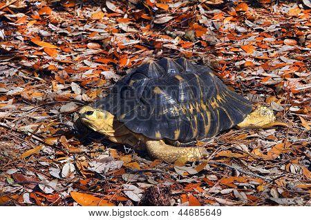 Radiated tortoise resting on autumn orange fall leaves. poster