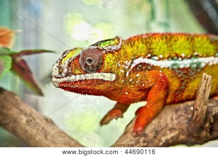 Male panther chameleon (furcifer pardalis)  sitting on a branch. Indonesia.