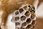 A young Paper Wasp Queen builds a nest to start a new colony. poster