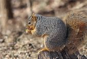 Fox squirrel sitting in tree stump eating poster
