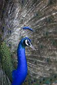 file of natural shot of indian peacock with beautiful tail plumage in jumgle wild poster