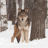 Grey Wolf (Canis lupus) Looks Forward - captive animal poster