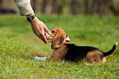 Good doggy. Master hand with delicacy for beagle puppy poster