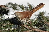 Brown Thrasher (Toxostoma rufum) in winter on a spruce branch covered with snow poster