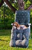 Morning . A dog on a chair in garden. poster