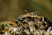 Wasp sitting on the socket of forest wasps poster