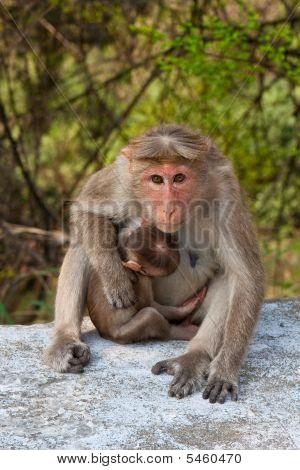 Bonnet Macaque Mother