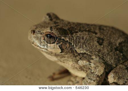 Tree Frog3