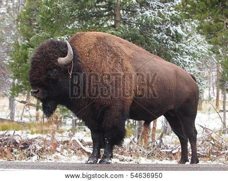 American Bison (Buffalo) in Profile