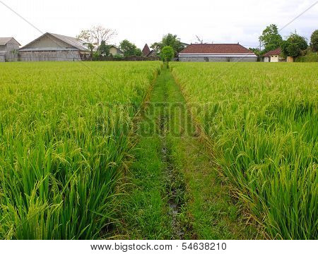 Rice Field Path