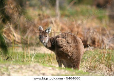 Kangaroo Stare
