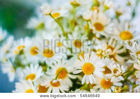 White Camomiles Flowers