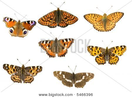 Seven Butterflies On White
