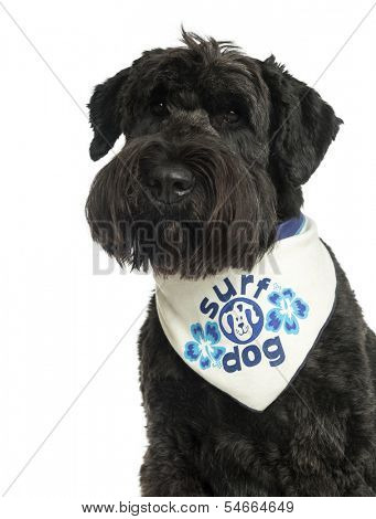 Close-up of a Bouvier des Flandres with bandana, 2 years old, isolated on white