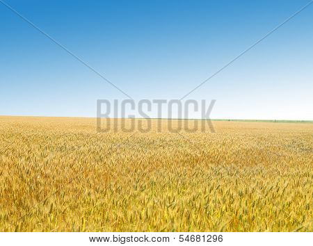 Golden wheat field against the sky