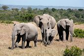 bunch of elephants, Elephantidae, in the bush of the masai reserve in kenya africa poster