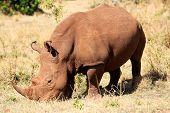 White Rhinoceros in the Masai Mara reserve in Kenya Africa poster