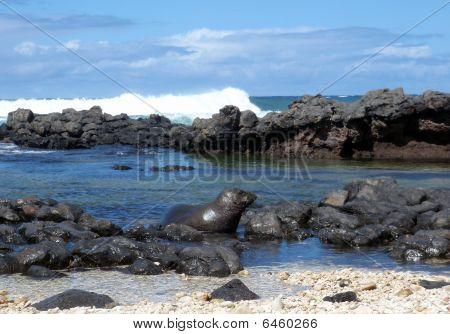 Monk Seal rozhlížel v bazénech Tide