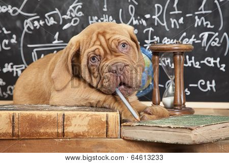 Puppy of French Mastiff breed chewing a pencil in front of blackboard poster