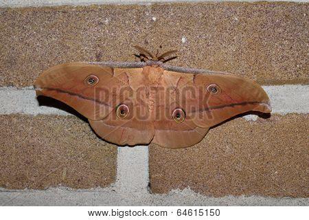 antheraea pernyi silkmoth
