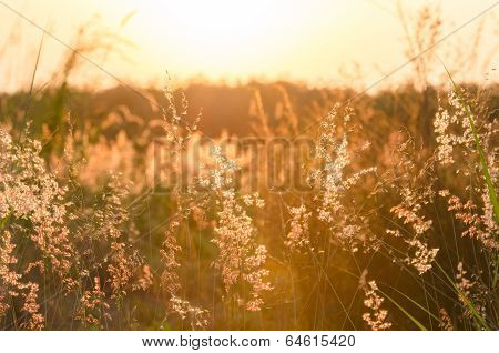 Abstract Nature Background With Flowering Grass In The Meadow And Sunset In The Wind