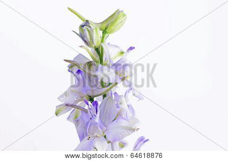 Pastel Purple Larkspur Isolated On White