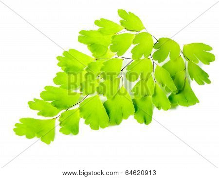 Young Green Fern Branch Isolated On White Background, Closeup